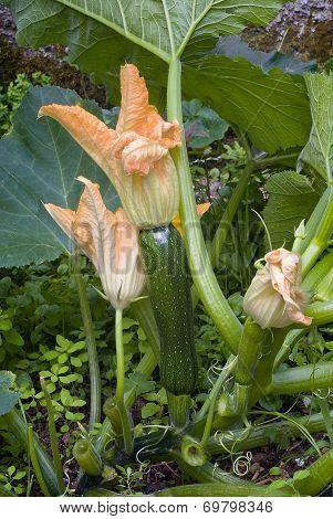 Squash Blossoms And Marrow In The Garden