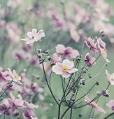 image of windflowers  - Japanese Anemone  - JPG