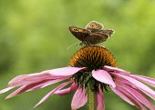 image of gatekeeper  - Gatekeeper butterfly on top of a cone-flower