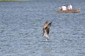 stock photo of osprey  - Osprey Carrying a Caught Fish Past Two Fishermen - JPG