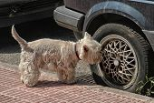 stock photo of west highland white terrier  - West Highland White Terrier in front of a car - JPG