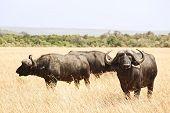 image of cape buffalo  - Cape buffalo  - JPG