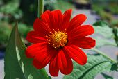 stock photo of zinnias  - Red Zinnia from the Asteraceae family on a brighter summer day - JPG