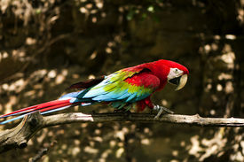 pic of green-winged macaw  - The green - JPG