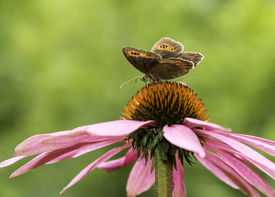 foto of gatekeeper  - Gatekeeper butterfly on top of a cone-flower ** Note: Soft Focus at 100%, best at smaller sizes - JPG