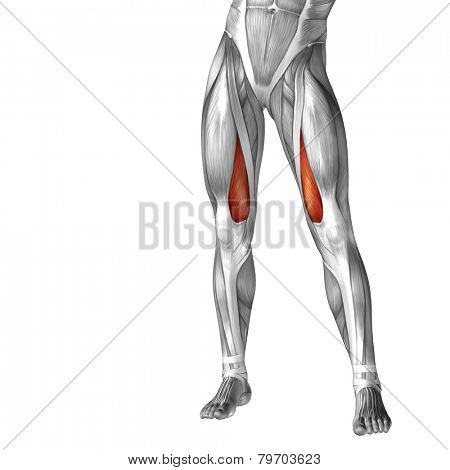 Concept or conceptual 3D human legs or vastus medialis anatomy or anatomical and muscle isolated on white background.