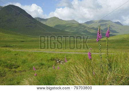 Foxgloves In Glen Shiel