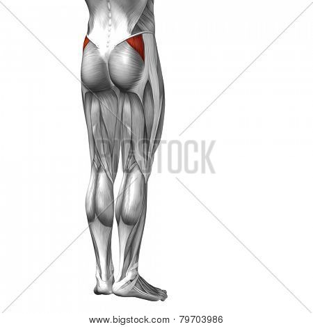 Concept or conceptual 3D human legs or gluteus medius anatomy or anatomical and muscle isolated on white background.