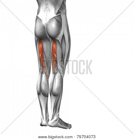 Concept or conceptual 3D human legs or semitendinosus anatomy or anatomical and muscle isolated on white background.