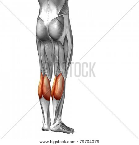 Concept or conceptual 3D human legs or gastrocnemius anatomy or anatomical and muscle isolated on white background.