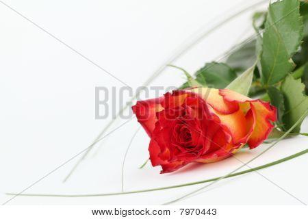 Redyellow Rose 003