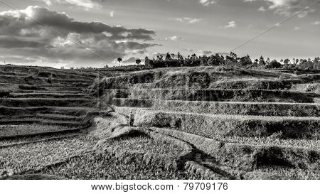 Rice Fields On The Hills