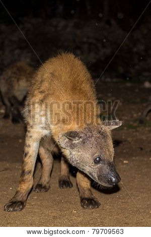 Spotted Wild Hyena