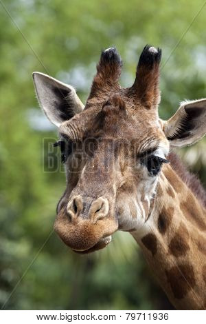 Portrait Of A Curiuos Giraffe