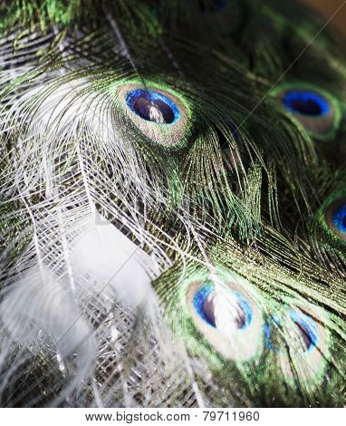 Feathers Of A White Peacock
