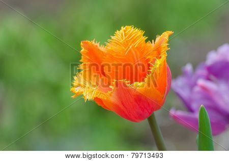 Blossom of the orange peony tulip in the spring