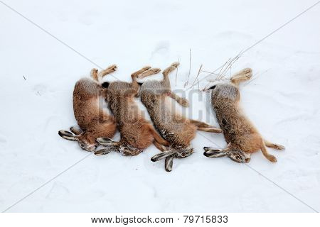 Four Hares Killed By Hunter