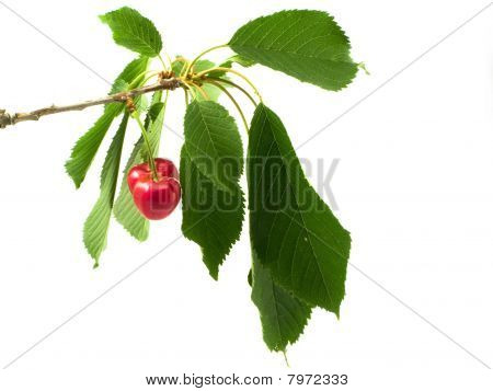 Cherry On Branch With Litho