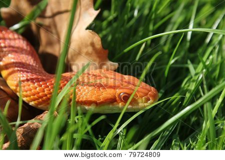 Albino Snake - Grass Snake - Ringelnatter on grass