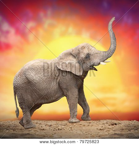 Young Elephant (Loxodonta Africana) against evening sky.
