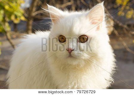 White Cat - Angora