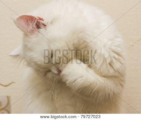 White Cat - Angora;