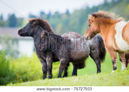 Herd of Shetland ponies on the hill in autumn background.