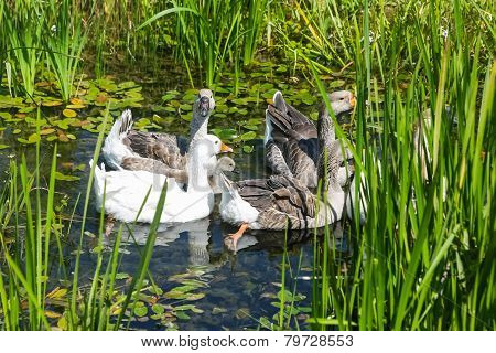 Geese In Marshy Pond