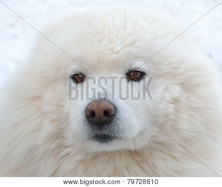 Portrait Of A Beautiful Samoyed Dog In The Winter Season.