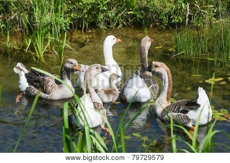 Group Of Geese In Pond