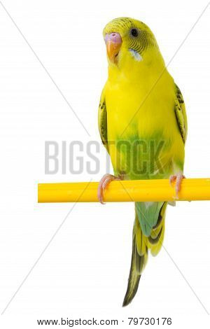 Beautiful Yellow Budgie