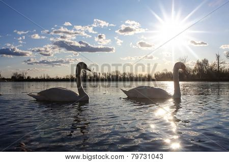Swans In Nature