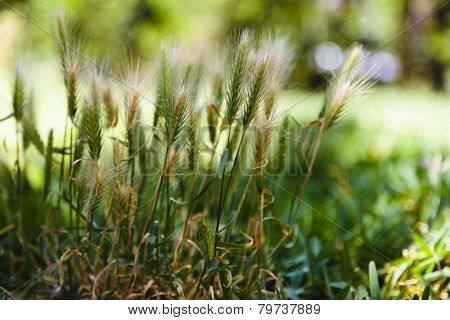Grass Inflorescences