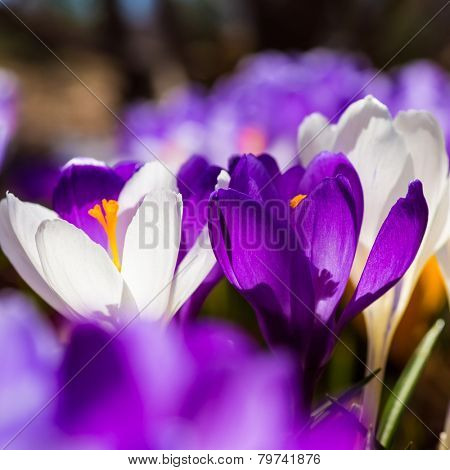 Beautiful spring crocus back lit in the home garden.