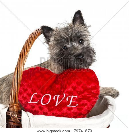A beautiful Cairn terrier puppy with a love pillow.