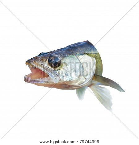 Predatory Fish Perch With His Mouth Open