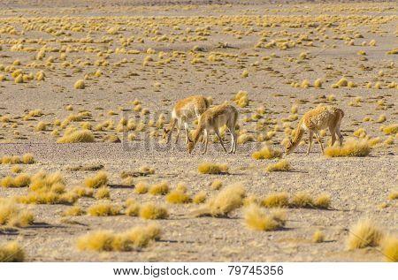 Bolivia, Antiplano: vicunas