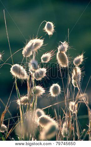 Beautiful grass like a bulrush