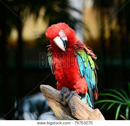 Colorful bird Macro Scarlet Macaw