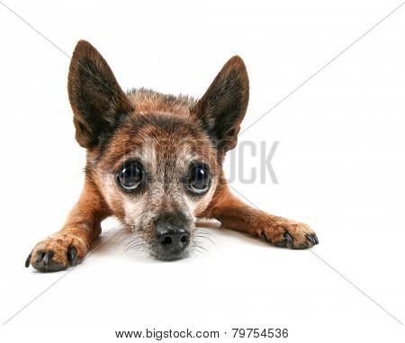 a cute chihuahua mixed breed dog isolated on a white background