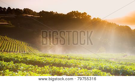 Sunrise In Strawberry Field At Doi Angkhang Mountain, Chiangmai, Thailand.