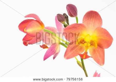 Red Orange Philippine Ground Orchids And Buds
