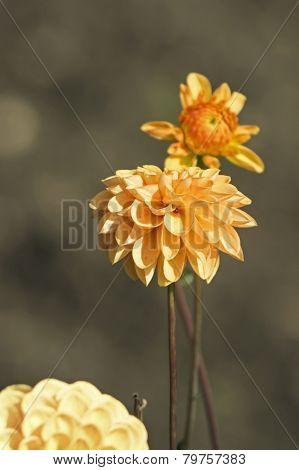 Orange Flower Dahlia