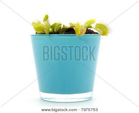 Blue Pot With Dionaea, Flytrap