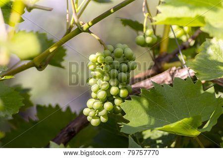Sun Enlightenment Unripe Bunch Of Grapes