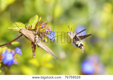 Flying Hummingbird hawk-moth and grasshoppers