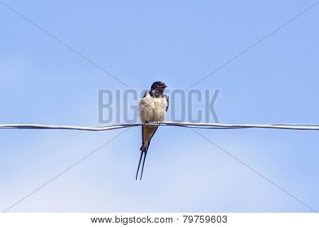 Bedraggled Swallows On Wire