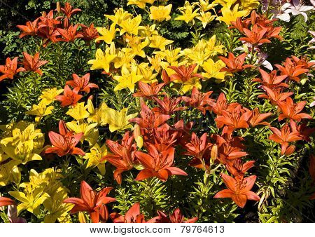 Yellow And Orange Lilies