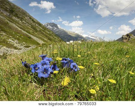 Gentian on mountain meadow
