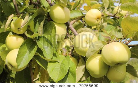 Ripe Yellow Apples
